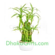 send dracaena sanderiana plant in dhaka