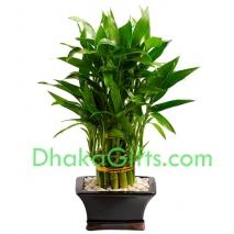 send live dracaena sanderiana to dhaka