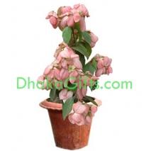 send live pink moshonda plant to dhaka