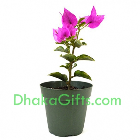 send bougainvillea plant to dhaka