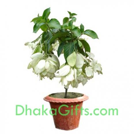 send live white moshonda plant to dhaka